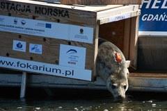 W Gdańsku wypuszczono 3 wyleczone foki
