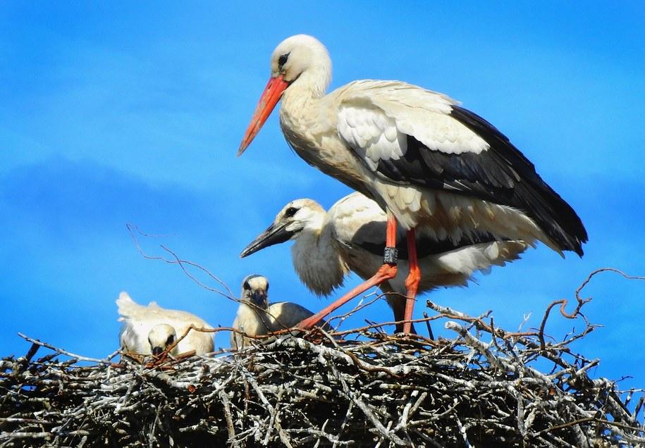 W gniazdach bociana białego wytwarza się bardzo żyzna gleba /foto. pixabay /