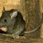 W Hongkongu człowiek zachorował na szczurze zapalenie wątroby