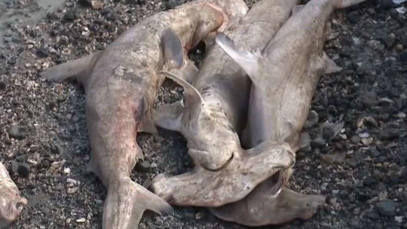 W Honolulu znaleziono dziesiątki martwych rekinów młotów /YouTube