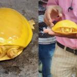 W Indiach znajdują coraz więcej złotych żółwi. Co się dzieje?