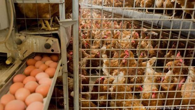 W jajach kurzych z Holandii stwierdzono obecność owadobójczego środka /Deutsche Welle