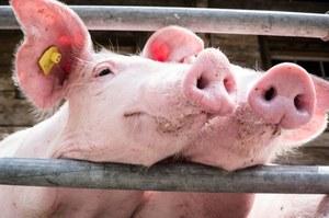 W Japonii powstają świnie z ludzkimi organami