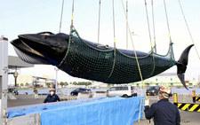 W japońskim porcie złowiono wieloryba
