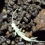 W kanadyjskiej jaskini odkryto nowy gatunek stawonoga