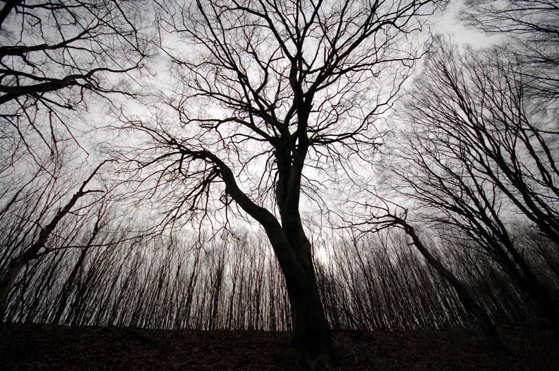 W kleszczowskim lesie rosną m.in. pomnikowe buki /archiwum prywatne