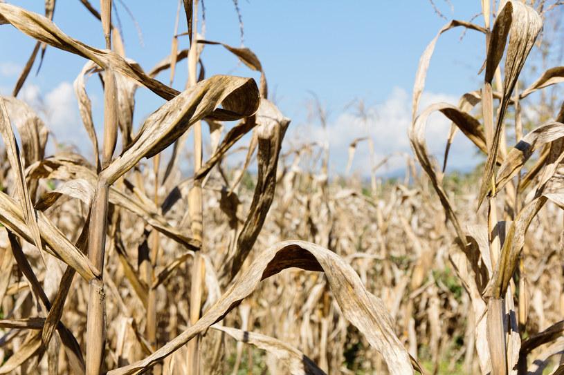 W kontekście głodu El Nino jest gorsze niż pandemia COVID-19 /123RF/PICSEL