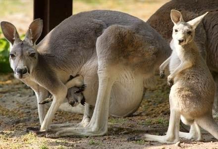 W kraju kangurów szykuje się prawdziwa internetowa rewolucja /AFP
