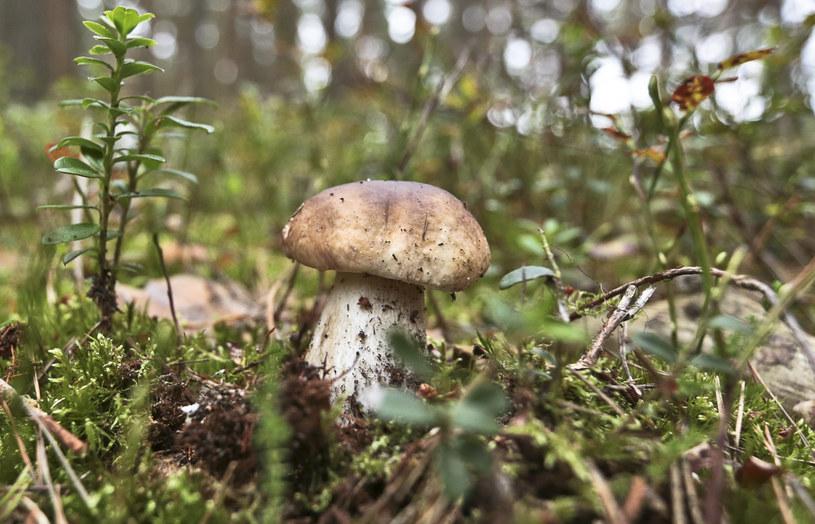 W lasach pojawiły się grzyby /Fot. Piotr Jedzura /Reporter
