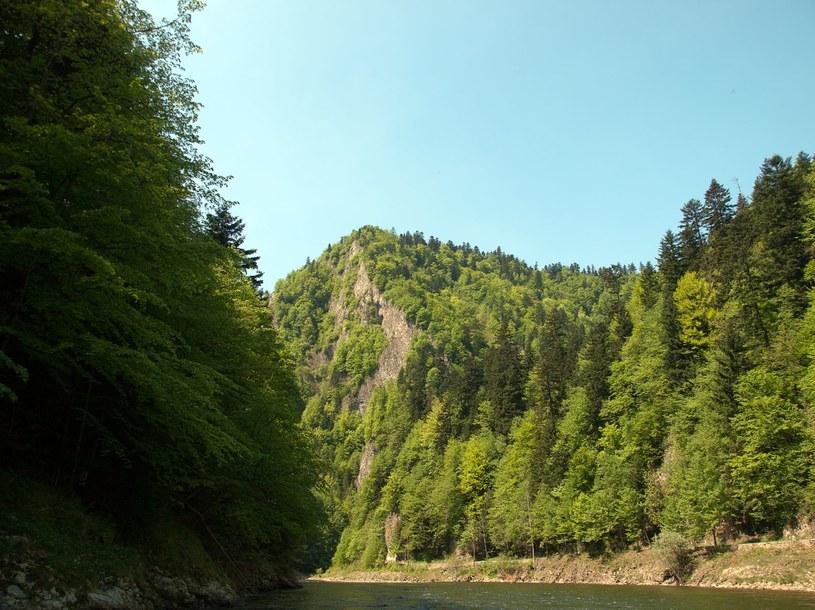 W lasach w dolinie Dunajca jest raj dla grzybiarzy /123RF/PICSEL