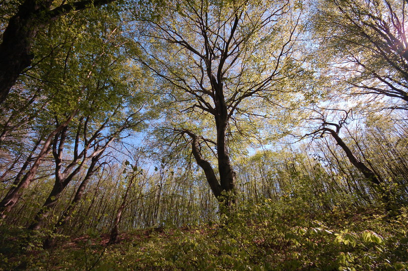 W lasach w okolicy Kleszczowa rośnie kilkadziesiąt gatunków chronionych roślin /archiwum prywatne