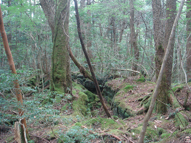 W lesie Aokigahara znajduje się średnio ciało jednego samobójcy miesięcznie /materiały prasowe