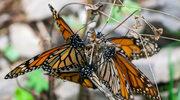 W Meksyku giną obrońcy motyli. Bo szkodzą drwalom
