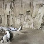 W Meksyku odkryto ponad 800 kości mamutów