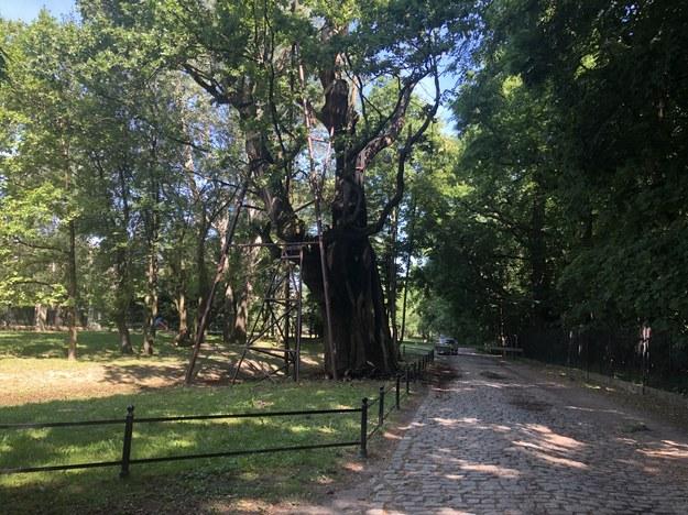 W nocy z niedzieli na poniedziałek drzewo częściowo spłonęło. Zakończyła się pierwsza seria badań dendrologicznych /Michał Dobrołowicz /RMF FM
