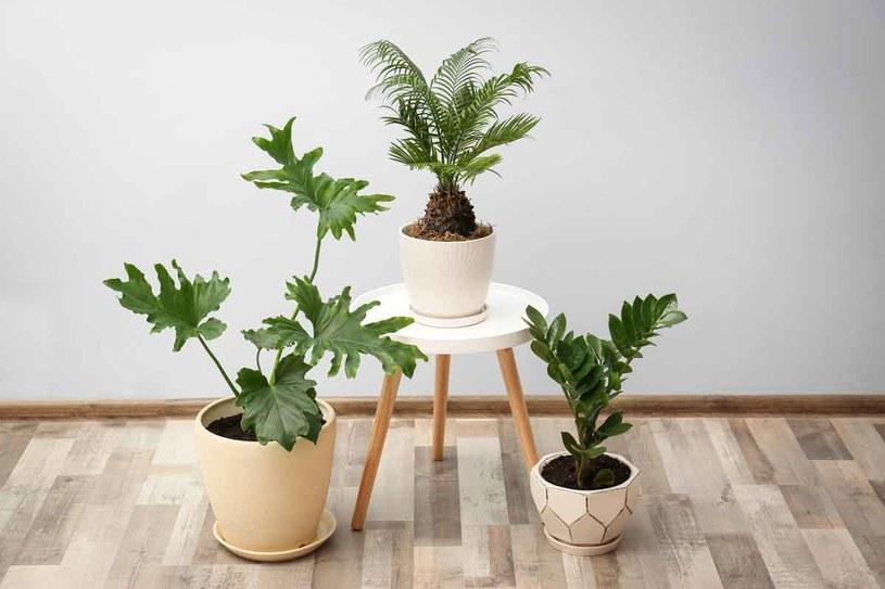 W obszernych salonach sprawdzą się inne rosliny niż w małych pokoikach /123RF/PICSEL