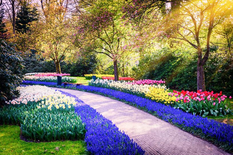 W parku Keukenhof każdego roku, od 1949 roku, zakwitają miliony kwiatów: tulipany, hiacynty, żonkile, żonkile i storczyki. /123RF/PICSEL