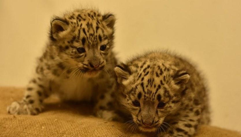 W płockim Zoo urodziły się dwie pantery śnieżne