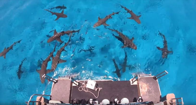 """W pobliżu miejsca, gdzie przeprowadzano eksperyment pływało kilkadziesiąt rekinów. To naprawdę liczna """"próba badawcza""""! /YouTube"""