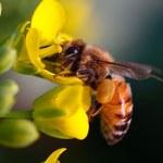W Polsce jest coraz mniej pszczół. Owady te można ratować poprzez tworzenie kwiatowych ogrodów i stosowanie naturalnych nawozów