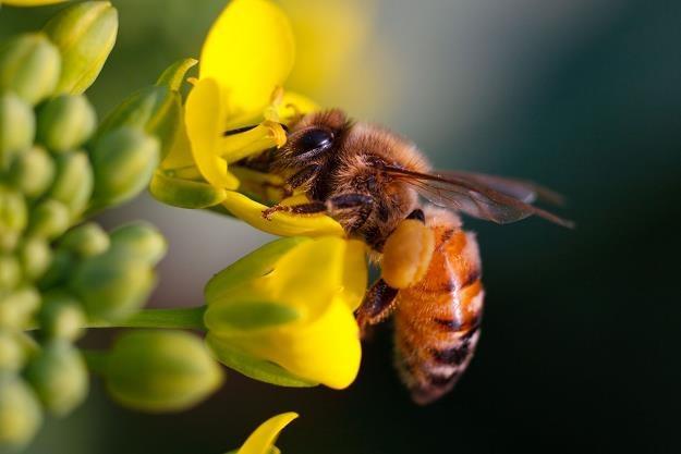 W Polsce jest coraz mniej pszczół /©123RF/PICSEL