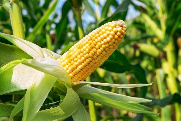 W Polsce nie będzie upraw kukurydzy modyfikowanej genetycznie? /©123RF/PICSEL