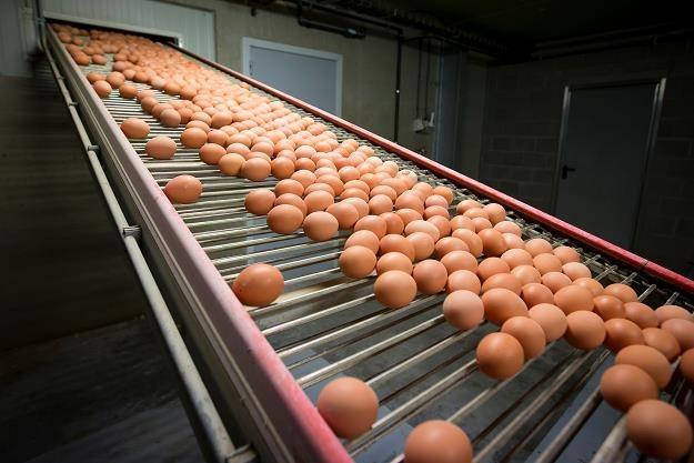 W Polsce wykryto jaja potencjalnie zanieczyszczone fipronilem /fot. Kristof Van Accom /AFP