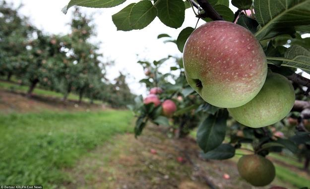 W Polsce zaczęły się zbiory jabłek. Fot. Bartosz Krupa /Agencja SE/East News