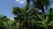 W polskich ogrodach też mogą rosnąć palmy!