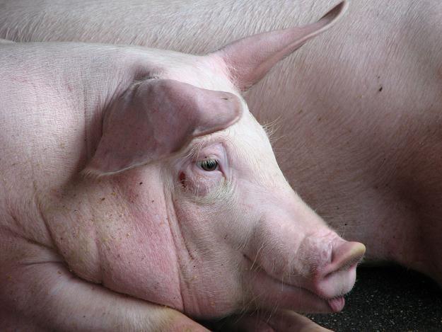 W powiecie białostockim wykryto drugie ognisko afrykańskiego pomoru świń (ASF) /©123RF/PICSEL