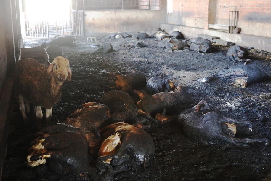 W pożarach zginęło wiele zwierząt /JAUME SELLART /PAP/EPA
