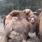 W Poznaniu możesz wyczesać wielbłąda. ZOO szykuje nowe atrakcje