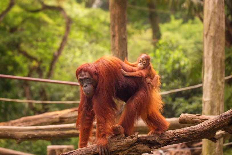 W singapurskim zoo jest największy na świecie wybieg dla orangutanów /123RF/PICSEL