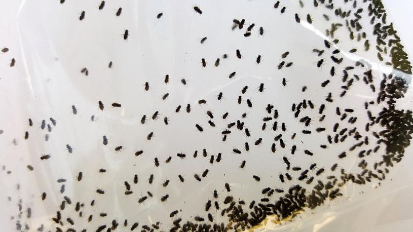 W starciu z muszkami owocówkami działać trzeba natychmiast /123RF/PICSEL