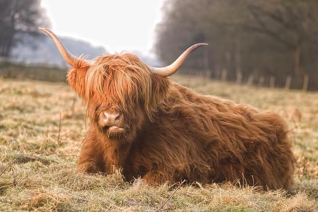 W Szkocji potwierdzono przypadek choroby szalonych krów /©123RF/PICSEL