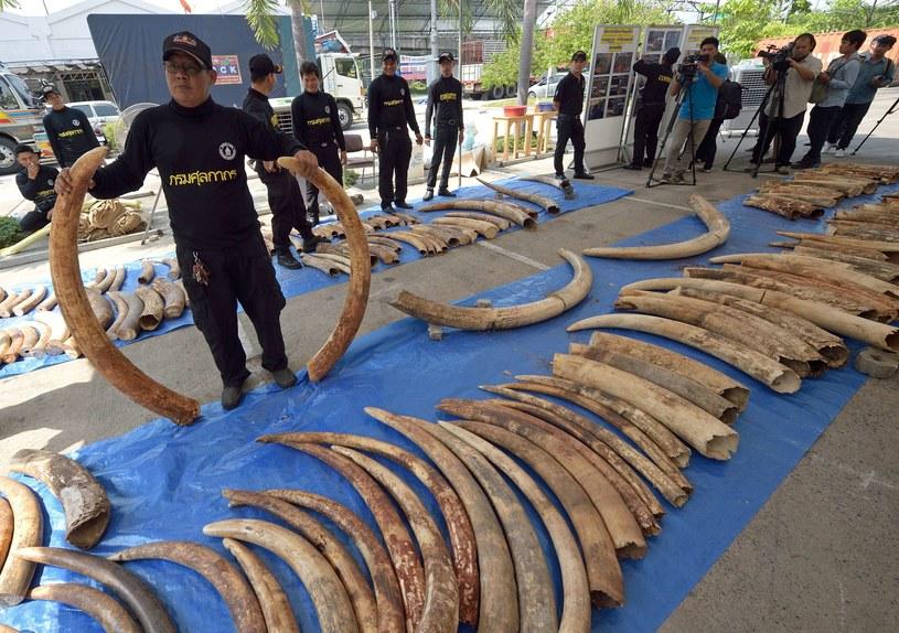 W Tajlandii udaremniono przemyt trzech ton kości słoniowej o wartości 6 mln dolarów /PORNCHAI KITTIWONGSAKUL /AFP