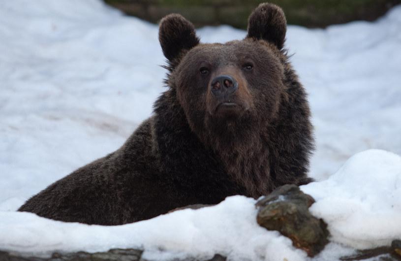 W Tatrach budzą się niedźwiedzie (zdjęcie ilustracyjne) / Maciej Kulczyński    /East News