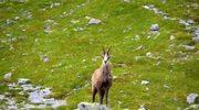 W Tatrach żyje 1431 kozic