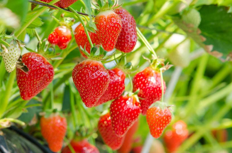 W tym roku zbiór truskawek może być trudny /123RF/PICSEL