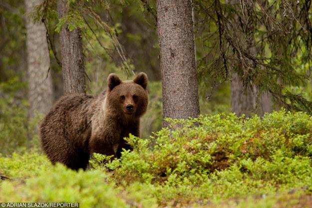 W tym roku zimowy sen podkarpackich niedźwiedzi był wyjątkowo krótki (zdęcie ilustracyjne) /East News
