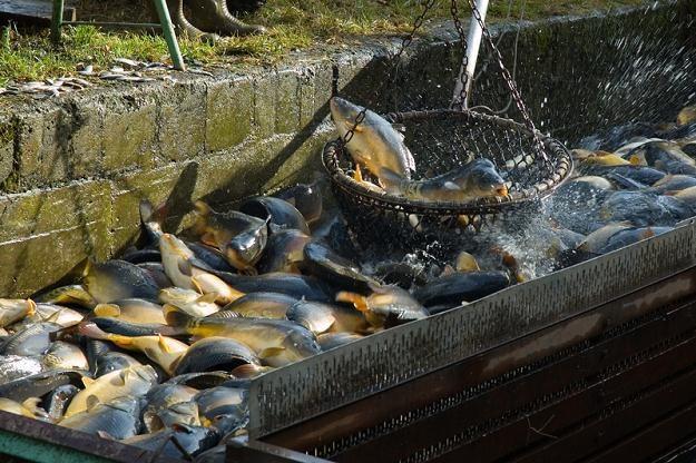 W ubiegłym roku do Polski sprowadzono ok. 3 tys. ton karpi /© Panthermedia