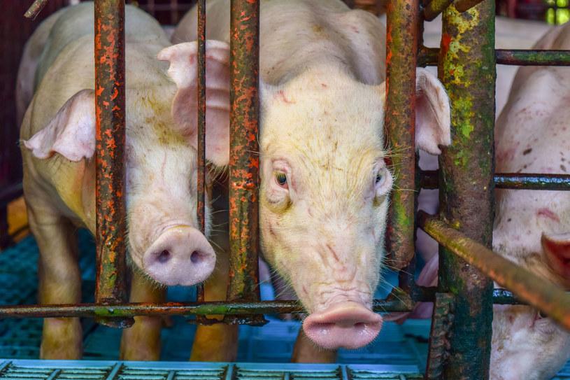 W Unii Europejskiej hoduje się rocznie ponad 340 milionów zwierząt w klatkach. W Polsce: ponad 43 miliony /123RF/PICSEL