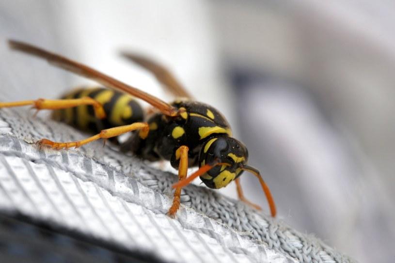 W ustaleniu, czy jesteśmy uczuleni na jad owadów, pomagają testy alergologiczne /123RF/PICSEL
