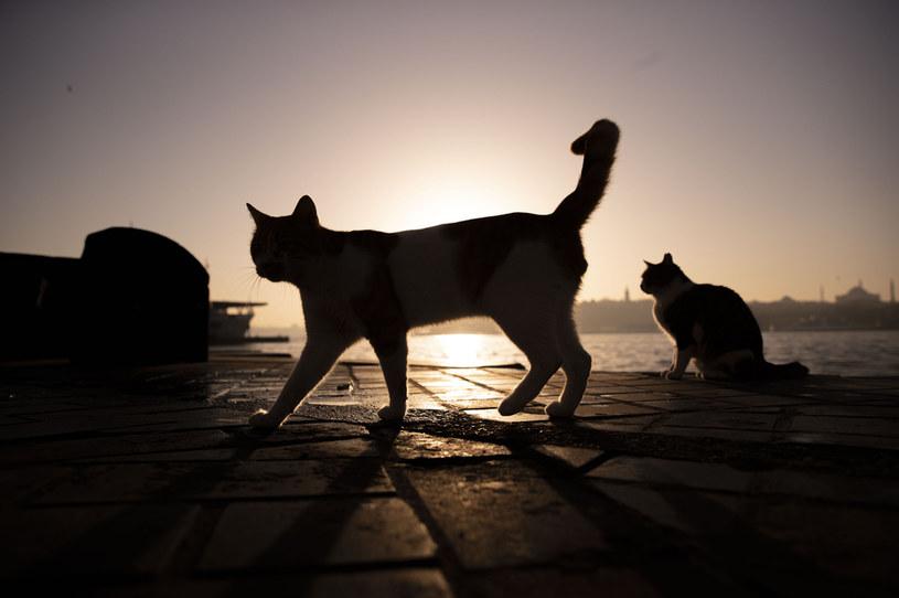 W Wielkiej Brytanii wykryto dwa przypadki przeniesienia koronawirusa z ludzi na domowe koty /Rasid Necati Aslim/Anadolu Agency /Getty Images