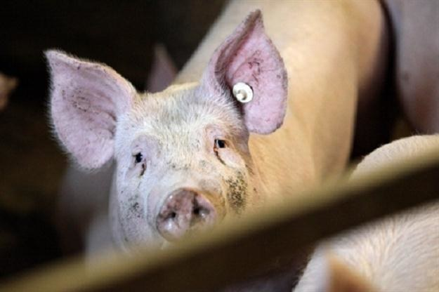 W wielkoprzemysłowej hodowli świń, Polska stała się przystanią międzynarodowych koncernów /AFP