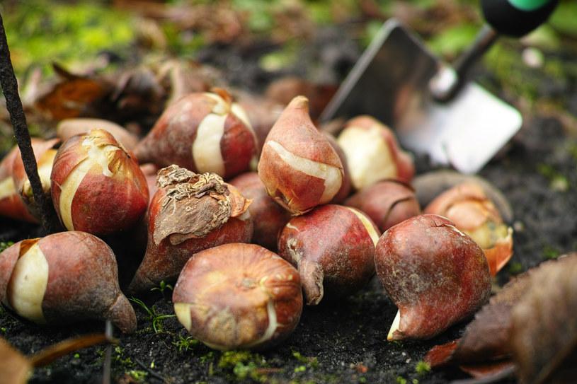 W zależności od regionu Polski tulipany można sadzić od września do listopada /123RF/PICSEL