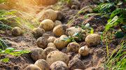 W zgodzie z naturą: Ziemniak i nagietek