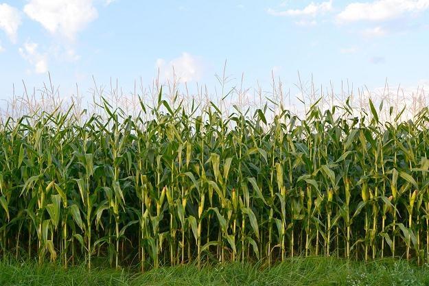 W złej lub bardzo złej sytuacji znajduje się już 38 proc. upraw kukurydzy /©123RF/PICSEL