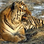 W zoo padło 11 tygrysów. Z niedożywienia