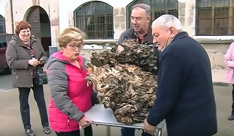 Waga nie kłamie - grzyb znaleziony przez Hiszpana ważył dokładnie 68,8 kg! /East News
